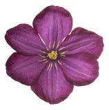 Clematis kwiat odizolowywający Obrazy Stock