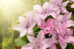 Clematis kwiat Obraz Royalty Free
