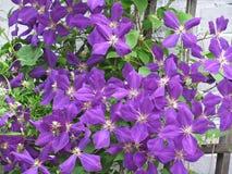 Clematis kwiaty Zdjęcie Stock