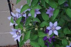 Clematis kwiaty: Purpurowa pasja Obrazy Stock