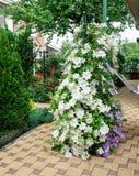 Clematis kwitnie całkowicie zakrywający ogrodzenie w domu ogródzie Zdjęcia Royalty Free
