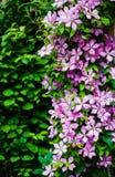 Clematis kwitnie w ogródzie Obrazy Royalty Free