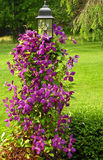 Clematis on the Lamp Post. A photograph of a clematis vine on a lamp post Stock Image