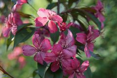 Clematis with large deep pink flowers close up. Gorgeous bush clematis with large bright pink flowers stock photography