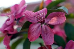 Clematis with large deep pink flowers close up. Gorgeous bush clematis with large bright pink flowers stock photos