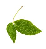 Clematis leaf Stock Images