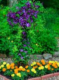 Clematis and Marigolds. A purple Jackmanii clematis growing above brightly- colored marigold flowers in a woodland rock garden Stock Images