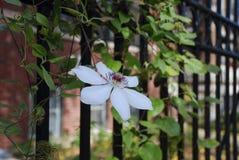 Clematis 'Miss Bateman'. Climbing on iron fence royalty free stock image