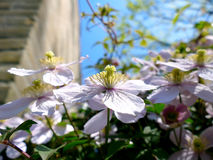 Clematis montana climbing plant with many pink flowers Stock Photos
