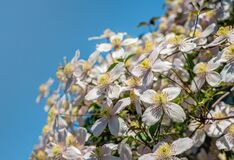 Free Clematis Montana Flowers From Close On A Sunny Day In Springtime Stock Photo - 180251880