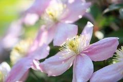 Clematis Montana kwitnie w ogródzie fotografia stock