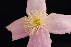 Clematis montana Stock Images