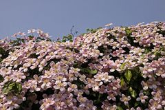 Clematis montana, wall flower in spring Royalty Free Stock Photos