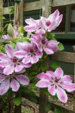 Clematis `Nelly Moiser` large flowered climber stock photo