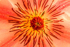 Clematis, Nelly Moser. Close up of Clematis, Nelly Moser, detail image Royalty Free Stock Photos