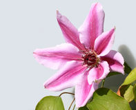Clematis Nelly Moser Royalty Free Stock Photo