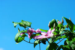 Clematis over blue sky. Stock Images