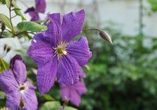 Clematis púrpura Fotos de archivo