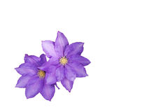 Clematis, pale mauve Stock Photo