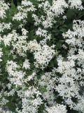 Clematis paniculata . flowering shrub in the garden Royalty Free Stock Image