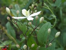Clematis Paniculate Starfall - the pearl of the Far East. royalty free stock photo