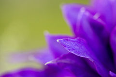 Clematis petal close up abstract Royalty Free Stock Photography