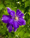 clematis Piękni purpurowi kwiaty clematis nad zielonym backgr Zdjęcia Royalty Free