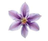 clematis piękny bez Zdjęcie Royalty Free