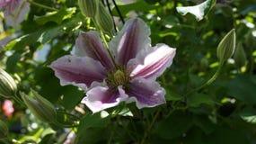 Clematis piilu kwiat fotografia stock
