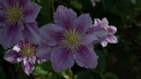 Clematis piilu purpurowy biały kwiat zdjęcie stock