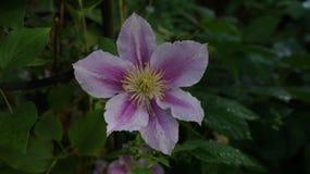 Clematis piilu purpurowy biały kwiat obrazy stock