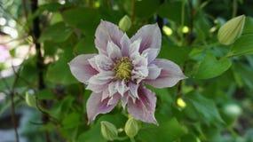 Clematis piilu purpurowy biały kwiat zdjęcia royalty free