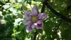 Clematis piilu purpurowy biały kwiat zdjęcie royalty free