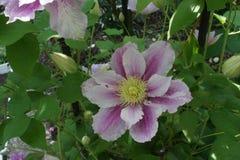 Clematis piilu purpurowy biały kwiat fotografia royalty free