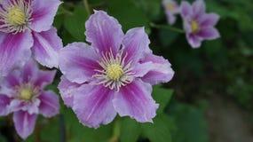 Clematis piilu purpurowy biel obraz royalty free