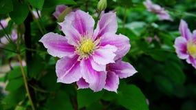 Clematis piilu purpurowy biel zdjęcia stock