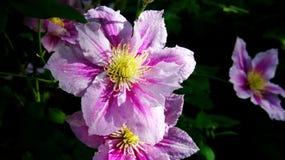 Clematis piilu purpurowy biel zdjęcia royalty free