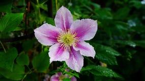 Clematis piilu purpurowy biel fotografia royalty free