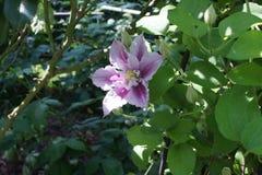 Clematis piilu purpurowy biel obrazy stock