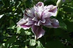 Clematis piilu purpurowy biel fotografia stock