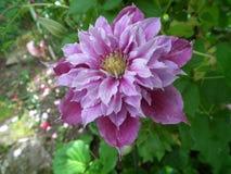 Clematis piilu purpurowy biel obrazy royalty free