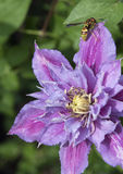 Clematis Piilu with a wasp Stock Photography