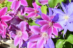 Clematis plant Stock Image