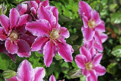 Clematis plants Stock Images