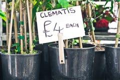 Clematis plants Stock Photo