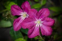 Clematis Polonez в цветении Стоковая Фотография