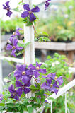 Clematis. Prodigious purple clematis flower Royalty Free Stock Photos