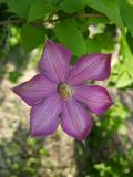 Clematis. Purple curly flower. Green flowering liana. stock photography