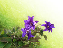 Clematis, purple flower Royalty Free Stock Photo