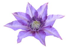 Clematis purple flower Royalty Free Stock Photo